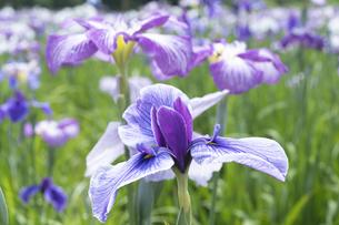 ハナショウブの花の写真素材 [FYI04797127]
