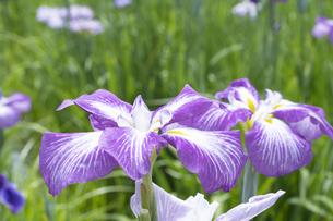 ハナショウブの花の写真素材 [FYI04797128]