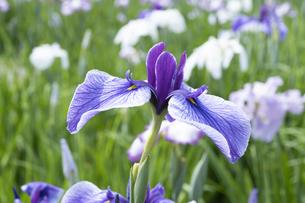 ハナショウブの花の写真素材 [FYI04797130]