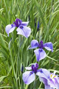 ハナショウブの花の写真素材 [FYI04797131]