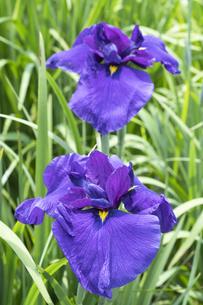 ハナショウブの花の写真素材 [FYI04797132]