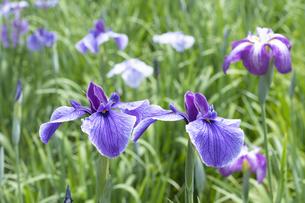 ハナショウブの花の写真素材 [FYI04797134]
