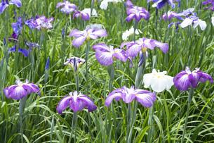 ハナショウブの花の写真素材 [FYI04797136]