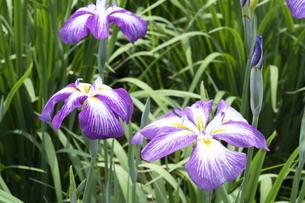 ハナショウブの花の写真素材 [FYI04797138]
