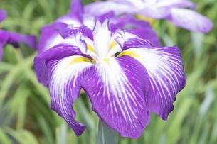 ハナショウブの花の写真素材 [FYI04797143]