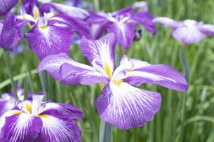 ハナショウブの花の写真素材 [FYI04797144]