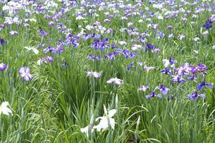 ハナショウブの花の写真素材 [FYI04797146]
