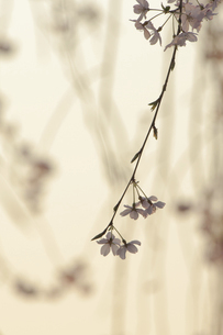夕暮れの枝垂桜の写真素材 [FYI04797325]