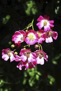 バラ・バレリーナの花の写真素材 [FYI04797334]