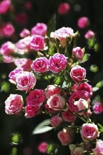 バラ・ミニバラの花の写真素材 [FYI04797335]