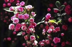バラ・ミニバラの花の写真素材 [FYI04797336]