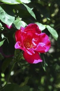 バラ・ニュースの花の写真素材 [FYI04797337]