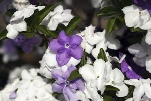 ニオイバンマツリの花の写真素材 [FYI04797355]