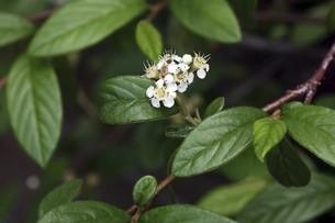 ヒメコウジの白い小花の写真素材 [FYI04797406]