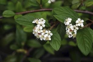 ヒメコウジの白い小花の写真素材 [FYI04797407]