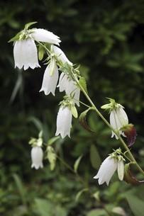 雨上りに咲くホタルブクロの花の写真素材 [FYI04797414]