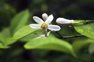 雨上りに咲くザボンの花の写真素材 [FYI04797415]