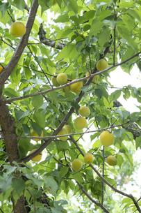 梅の実の写真素材 [FYI04797470]