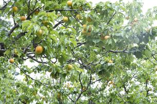 梅の実の写真素材 [FYI04797471]
