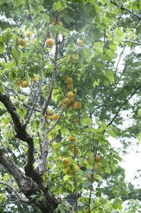 梅の実の写真素材 [FYI04797472]