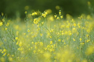 キガラシの花の写真素材 [FYI04797484]