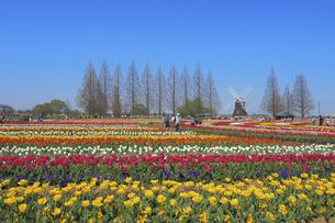 チューリップ畑と風車の写真素材 [FYI04797503]