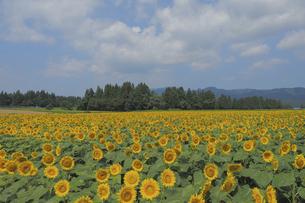 ひまわり畑の写真素材 [FYI04797506]
