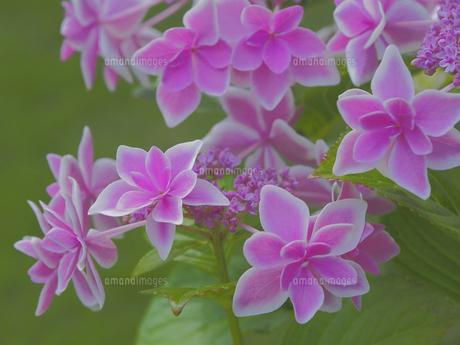 ピンク色のガクアジサイの写真素材 [FYI04797528]