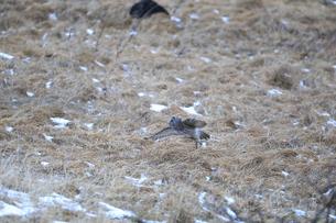地面から飛び立つフクロウの写真素材 [FYI04797541]