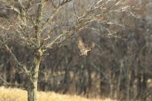 獲物を狙って急降下するフクロウの写真素材 [FYI04797555]