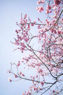 青空に咲き誇る紅梅の写真素材 [FYI04797578]