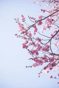 青空に咲き誇る紅梅の写真素材 [FYI04797579]