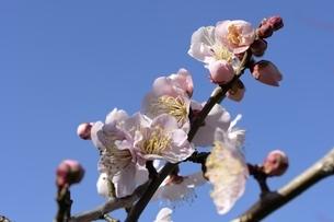 大阪城梅林,青空と中国梅の花の写真素材 [FYI04797583]
