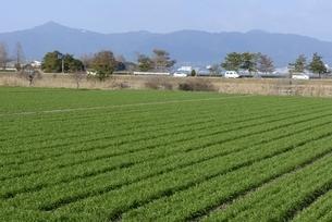 守山,一面小麦畑の風景の写真素材 [FYI04797607]