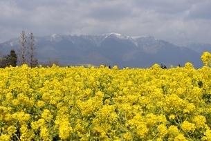 守山,第一なぎさ公園,菜の花畑から雪景色の比良山系の写真素材 [FYI04797626]