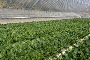 守山市,ビニールハウスでホウレンソウを栽培の写真素材 [FYI04797627]