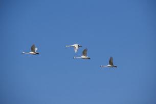 春の青空を飛ぶハクチョウの群れの写真素材 [FYI04797704]