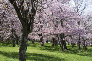 桜が満開の春の公園の写真素材 [FYI04797710]