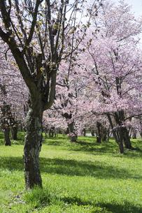 桜が満開の春の公園の写真素材 [FYI04797712]