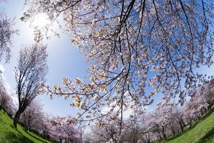 サクラが満開の公園と春の太陽の写真素材 [FYI04797714]