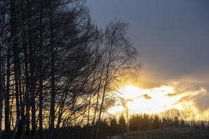 春の夕暮れの丘のカラマツ林 美瑛町の写真素材 [FYI04797734]