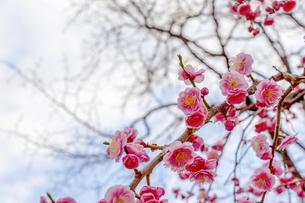 ピンク色の梅の花の写真素材 [FYI04797784]