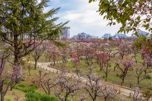 大阪城公園の梅林の写真素材 [FYI04797786]