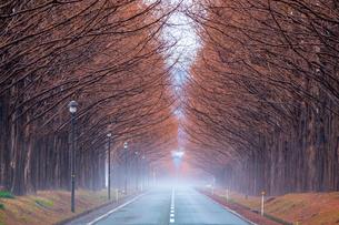 マキノ高原 メタセコイア並木の写真素材 [FYI04797863]