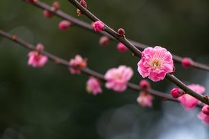 北野天満宮 梅花の写真素材 [FYI04797867]