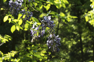 山藤の花の写真素材 [FYI04798395]