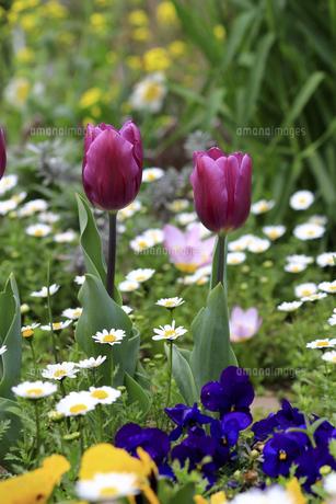 赤いチューリップが咲く春の花壇の写真素材 [FYI04798554]