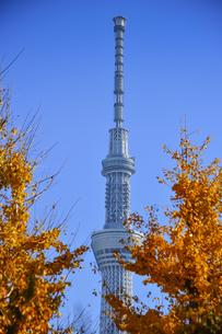 東京スカイツリーと黄葉したイチョウの写真素材 [FYI04799009]