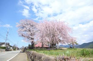 丘の上に咲く、満開の桜の木の写真素材 [FYI04799119]