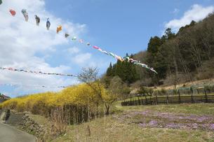 鯉のぼり 青空とコイのぼり 春 端午の節句の写真素材 [FYI04799142]